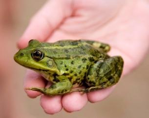 Atrazine and Frogs