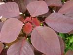 Liver cancer and Euphorbia