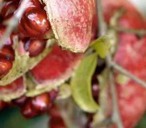 prostate cancer and pomegranates