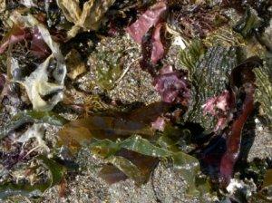 seaweeds and periodontal disease