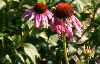 Echinacea and the common cold