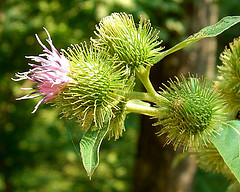 burdock helps memory