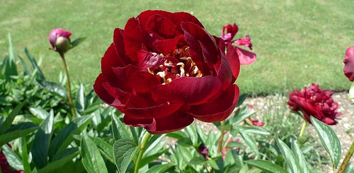 red peony root hepatitis