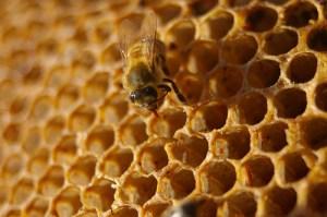 Manuka honey clostridium difficile