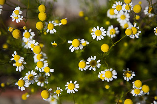 chamomile and thyroid diseases