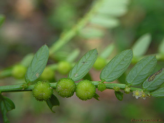 Phyllanthus urinaria treats hepatitis B virus