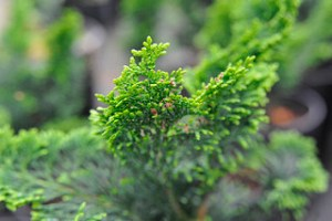 cypress essential oil aromatherapy