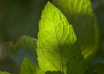 research confirms peppermint tea increases memory