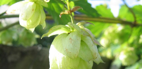 Hops inhibits breast cancer and relieves menopausal symptoms