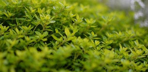 aromatherapy fights candida