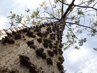 African tree bark treats malaria and kills mosquitoes