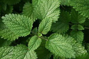 lemon balm and valerian root reduce hyperactivity and increase focus