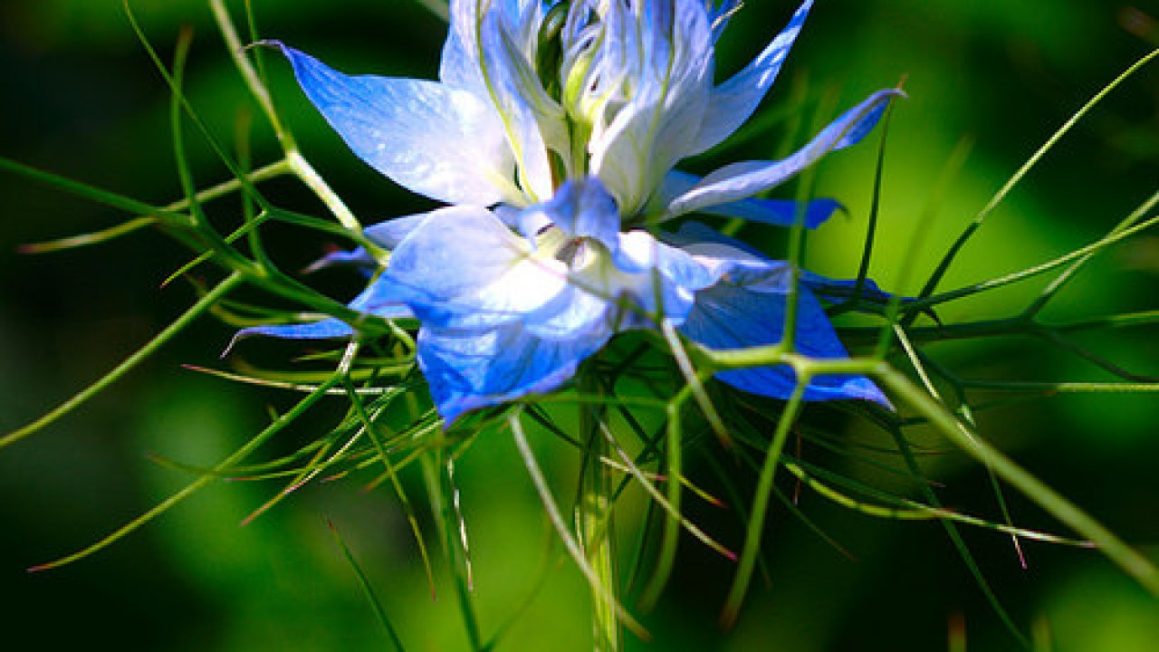 Nigella sativa Treats Asthma and 14 Other Conditions | Heal