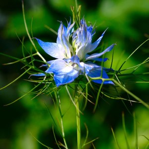 Nigella sativa asthma treats arthritis diabetes obesity epilepsy heart disease and others