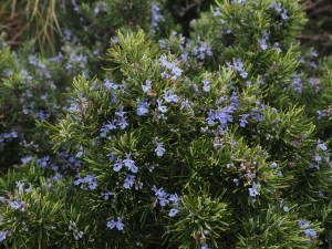 rosemary helps with anxiety and depression