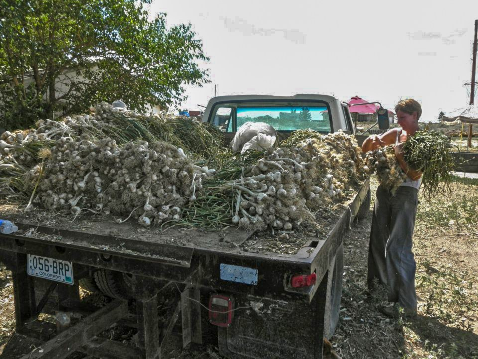 garlic harvest at Hobbs and Meyer Farms Colorado
