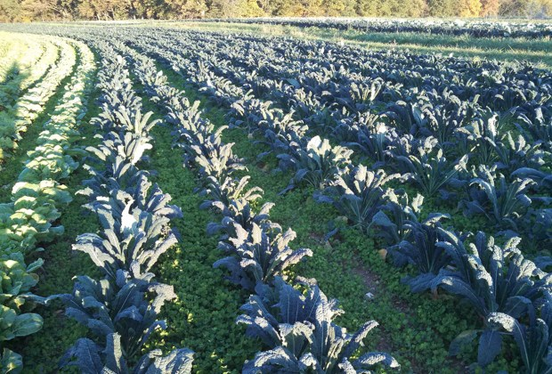 Beautiful winding field of organic kale