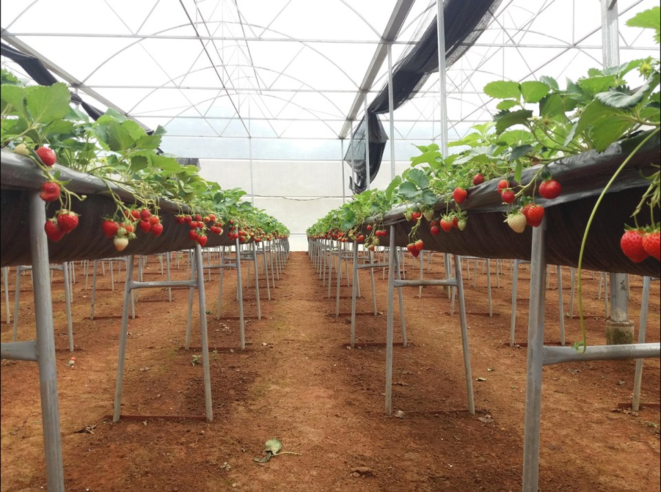hydroponic tomatoes being grown in an indoor facility