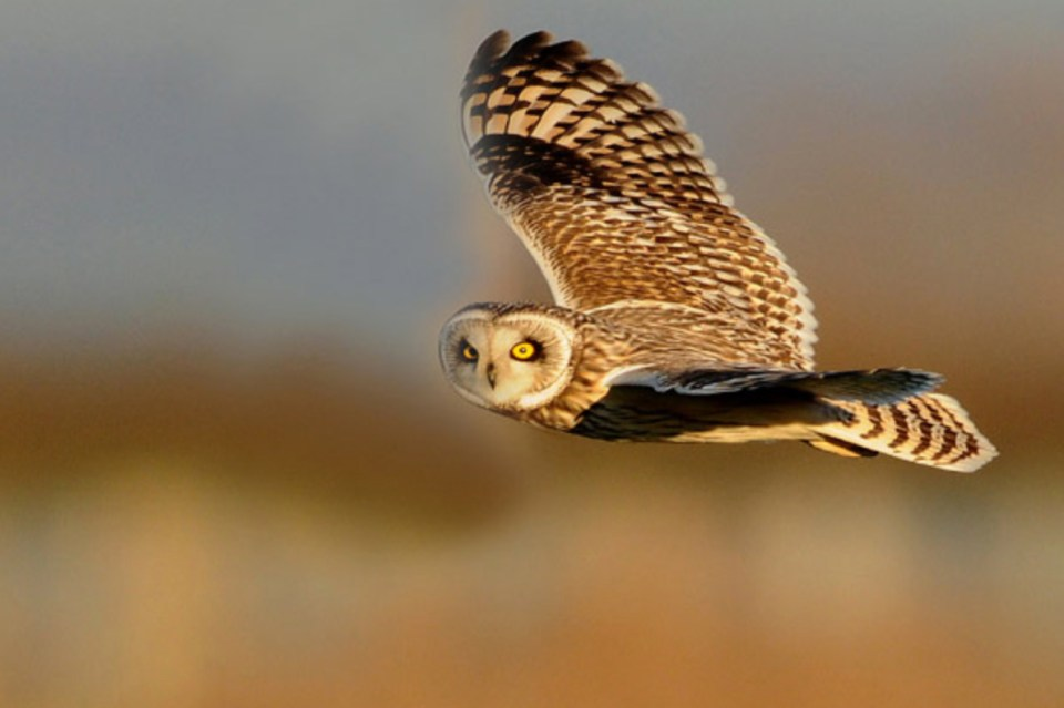 owl in flight