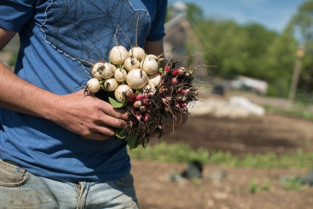 harvested bunch of radishes and turnips