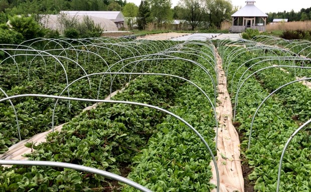 densely packed greens grow in rows of soil at La Ferme des Quatre-Temps