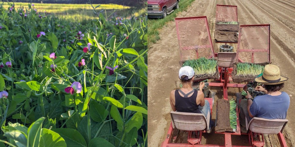 Legumes in bloom on left and planting sets in the field