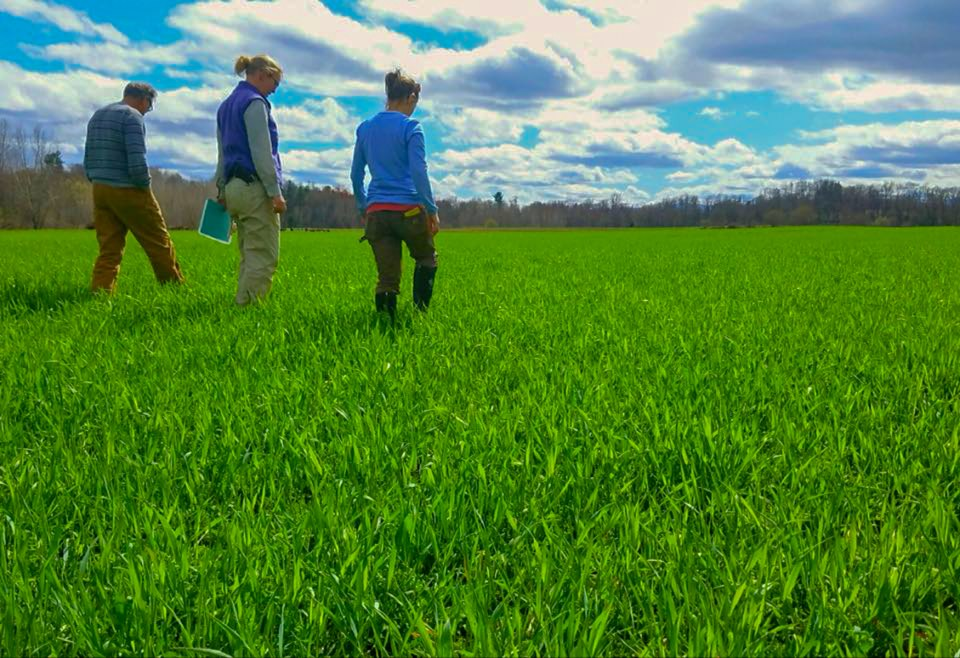 Walking through healthy green cover crops at Roxbury Farm New York