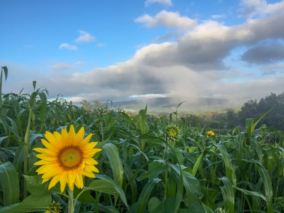 field of sunflowers in bloom at Village Acres Farm and Foodshed