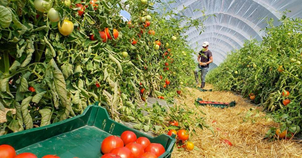 soil-grown tomato harvest inside high tunnel at Roxbury Farm New York
