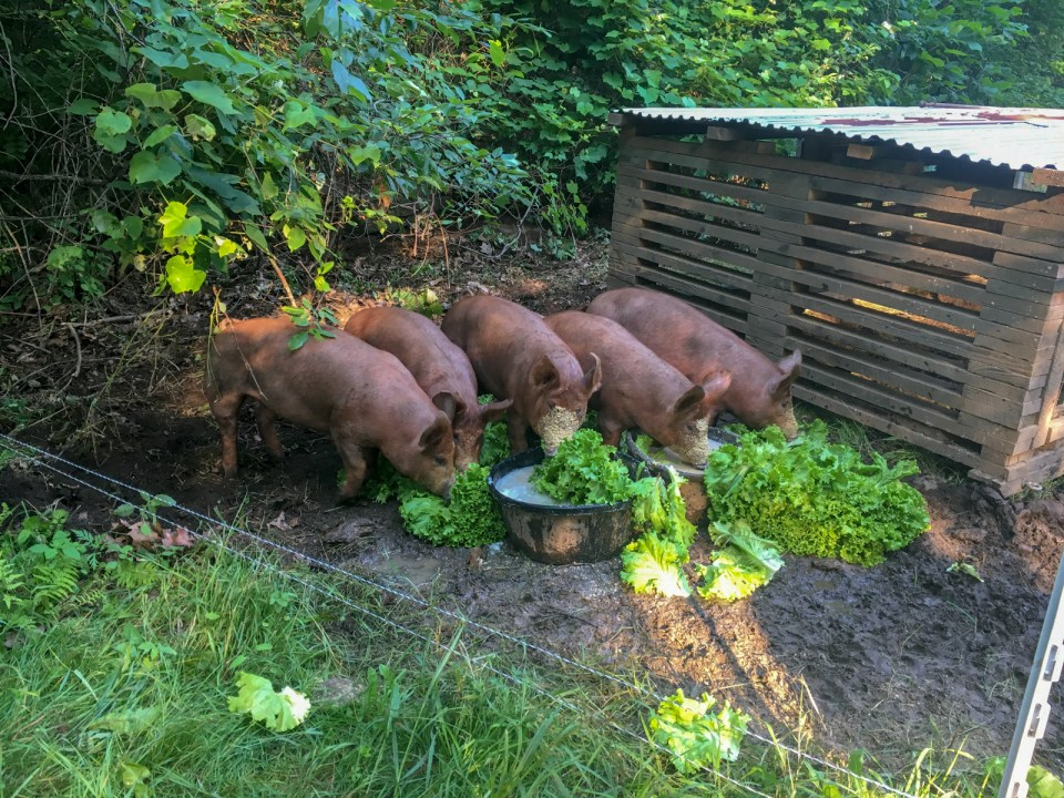 Piglets huddle together to eat outdoors