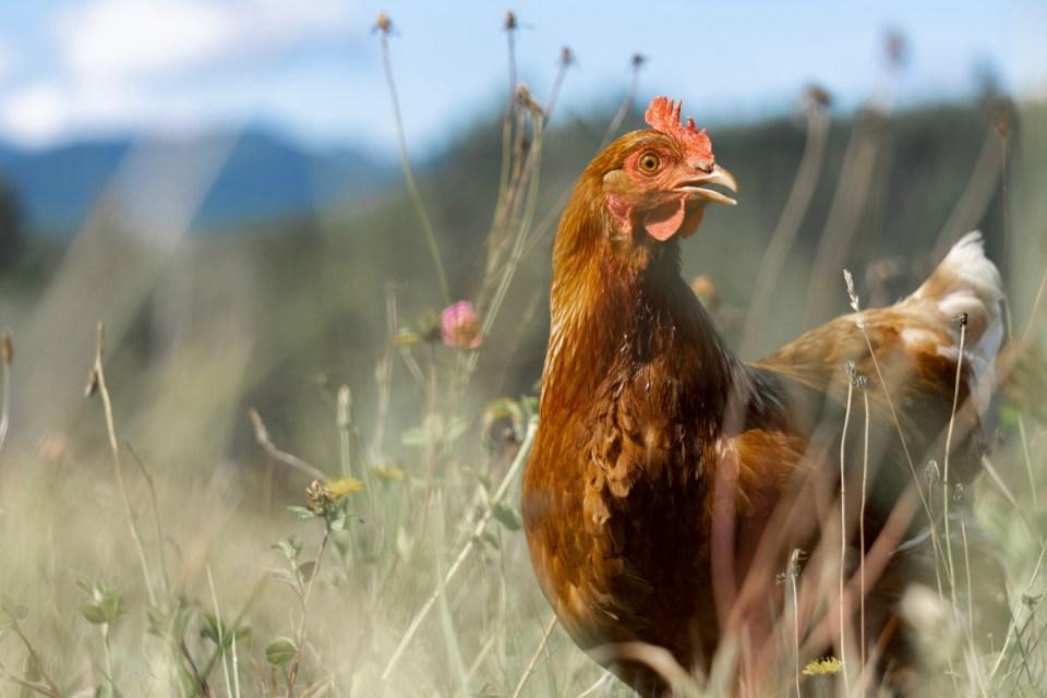 chicken on pasture at skokomish valley farms