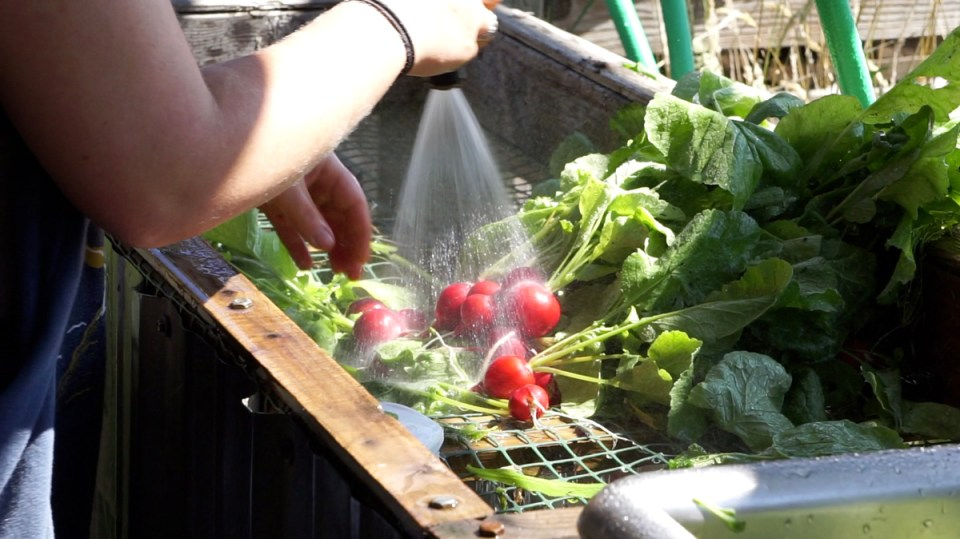 washing radishes at skokomish valley farms