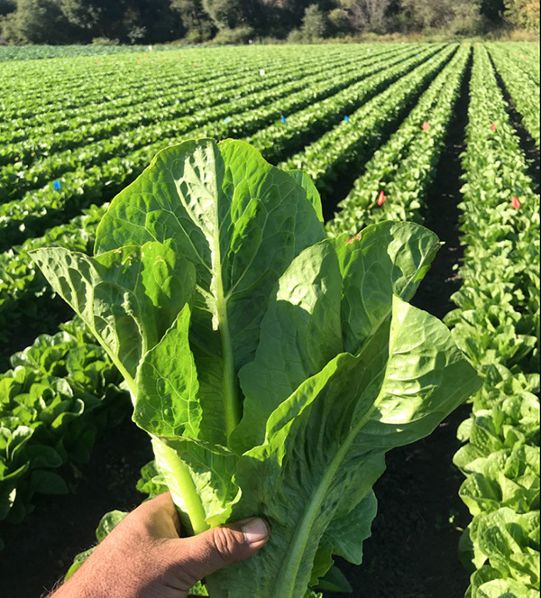 soil grown lettuce crops at JSM Organics