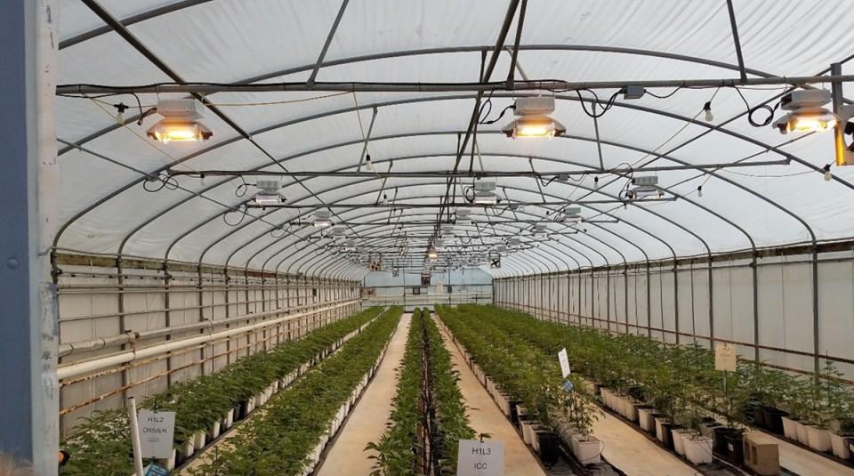 Hydroponic marijuana plants on the Ecofarm tour.