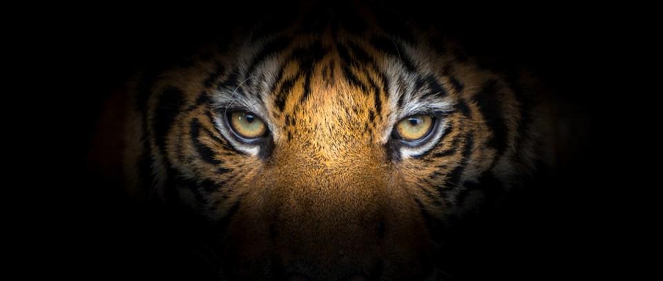 close-up tiger eyes