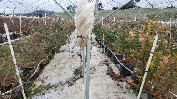 Two rows of tomatoes inside a hoop house growing in containers with white drip irrigation lines