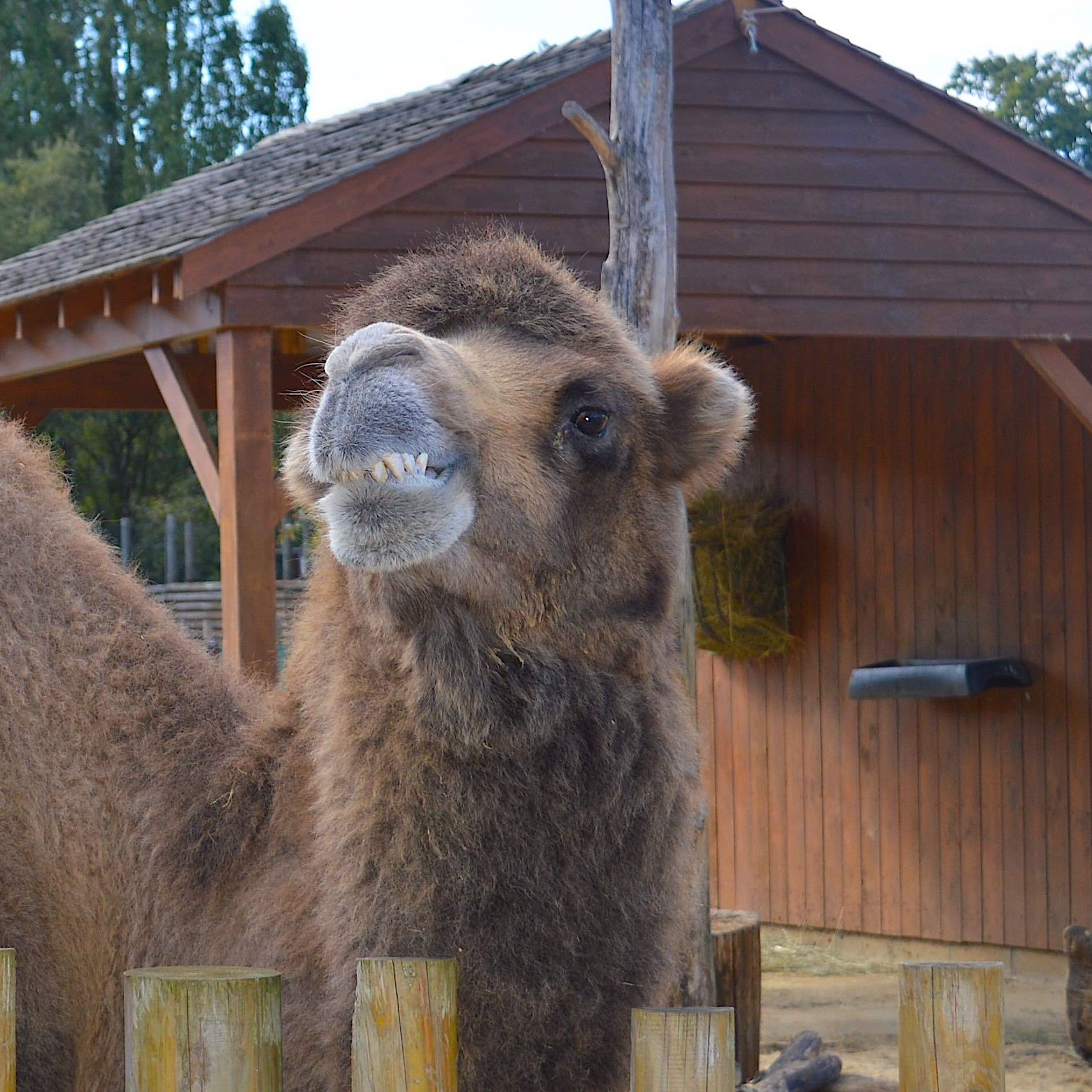 Paradise Wildlife Park Camel Smile