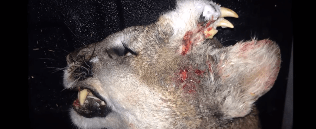 Hunter Kills Mountain Lion With Teeth Growing From Its