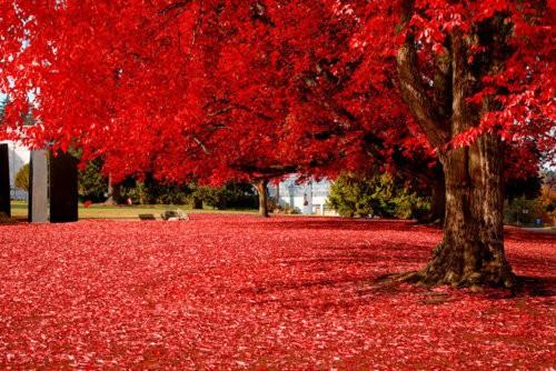 Autumn Red, Olympia, Washington