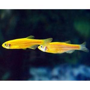Yellow Danio fish at Rebel Pets