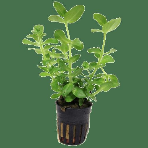 bacopa caroliniana Baby's Tears live plant at Rebel Pets