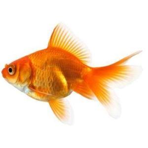 Fantail Goldfish Rebel Pets