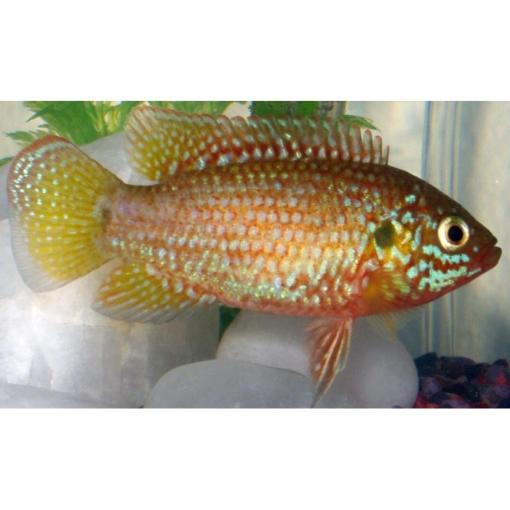 Jewel-African fish livestock at Rebel Pets