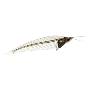 Glass Catfish Clear at Rebel Pets