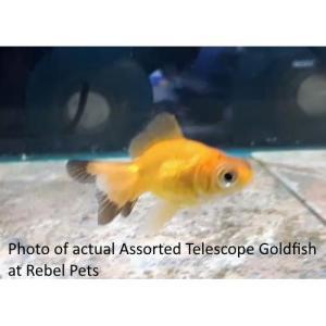 Assorted Telescope Goldfish at Rebel Pets