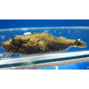 Pufferfish Humpback XL