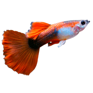Red Tuxedo Guppy Male at Rebel Pets
