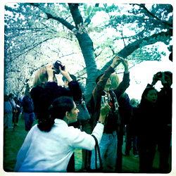 tourists at the Cherry Blossom Festival