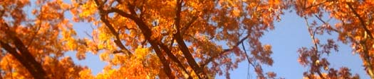 orange autumn leaves and blue sky