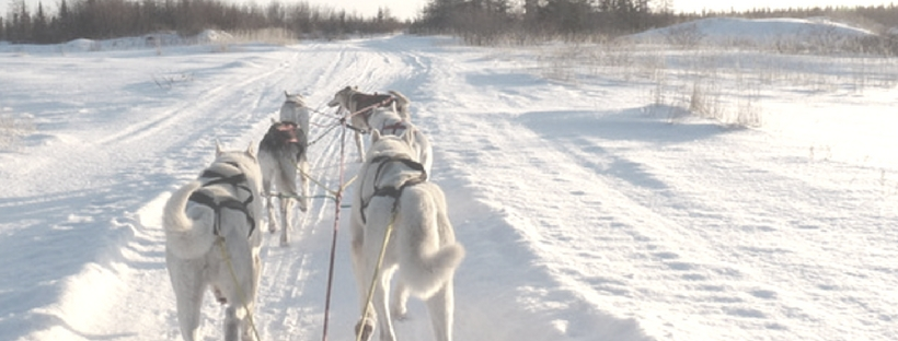 on a sled with dogs leading and pulling